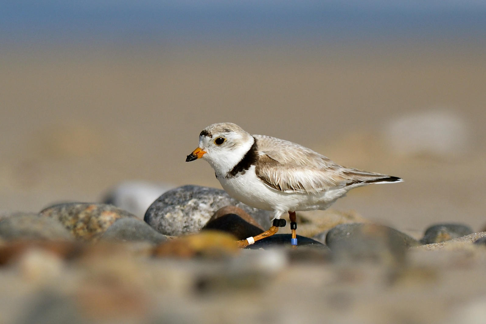 Great Lakes GLRI Piping Plover