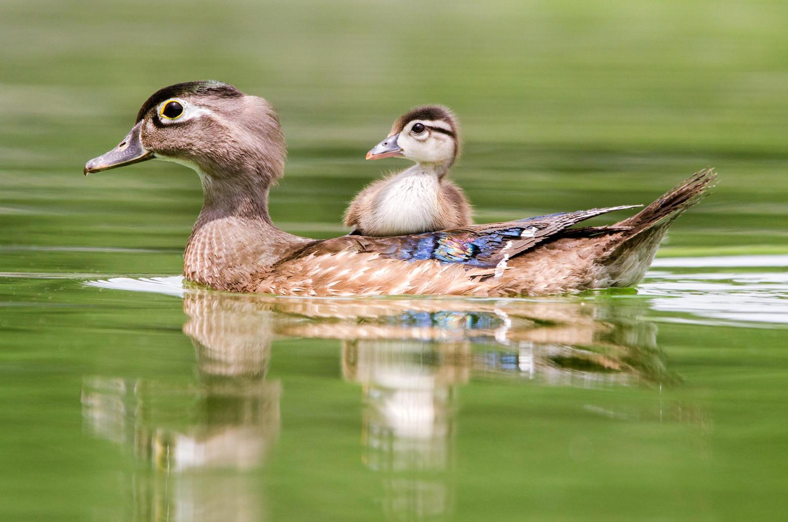 Michigan, Wood Duck, Wetlands, Conservation