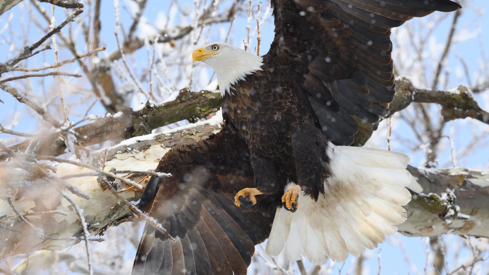 Bald Eagle Photo Credit: Alex Ghanayem Audubon Photo Awards