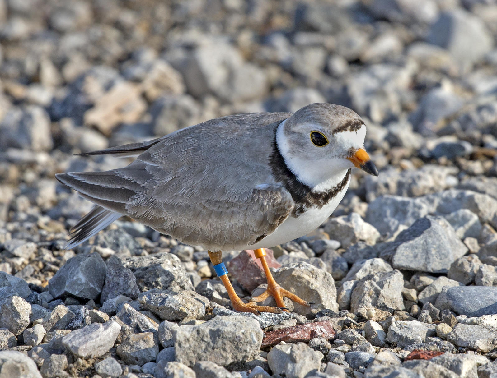 Piping Plover on Waukegan Municipal Beach