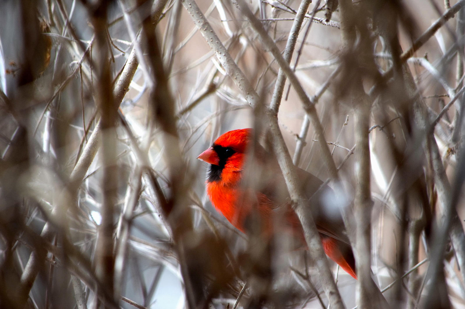 Michigan, Backyard Birds, Northern Cardinal