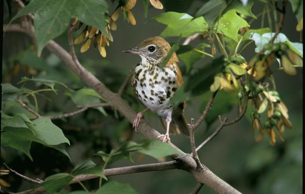 Planting for Chicago-area Migratory Birds