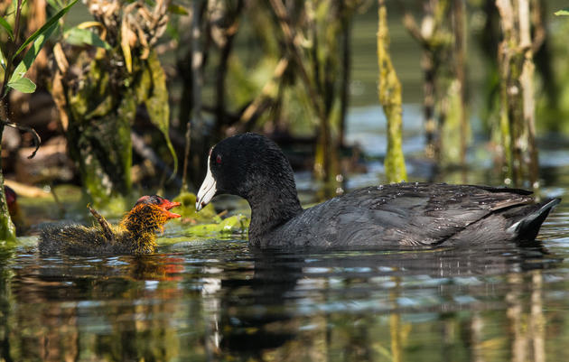 Audubon Great Lakes Funds Construction of New Water Control Structures to Restore Calumet Wetlands for Birds