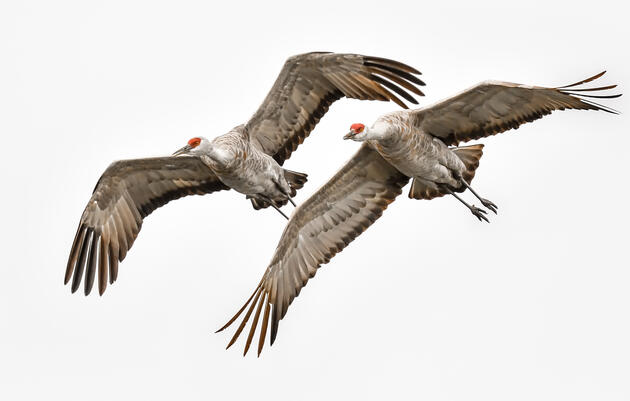 Thousands of Sandhill Cranes Arrive in Northwest Indiana, Highlighting Importance of Conservation Efforts