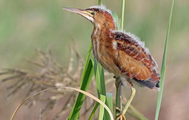 Michigan's SB 1211 a Serious Threat to Wetlands and Bird Habitat