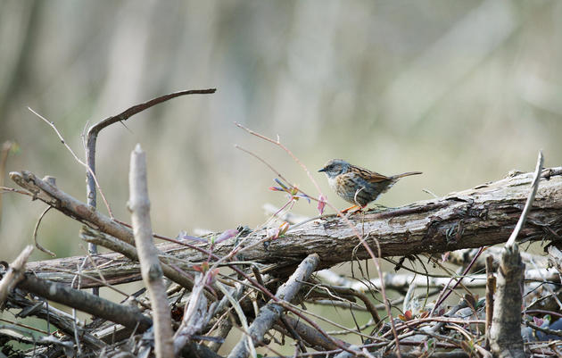 Build a Brush Pile for Birds