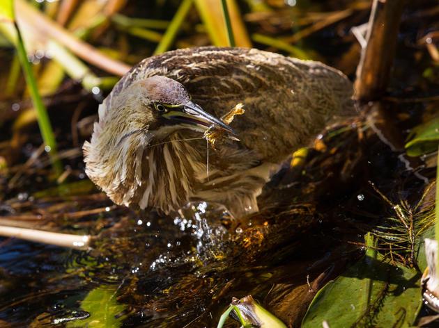 Indiana Marsh Bird Survey