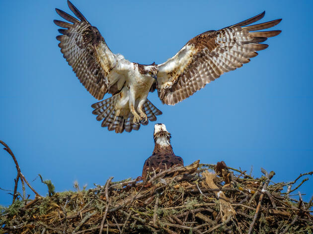 The Triumphant Return of Michigan's Ospreys