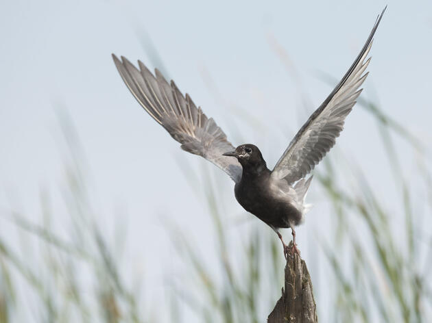 Michigan's Black Terns Need Your Help