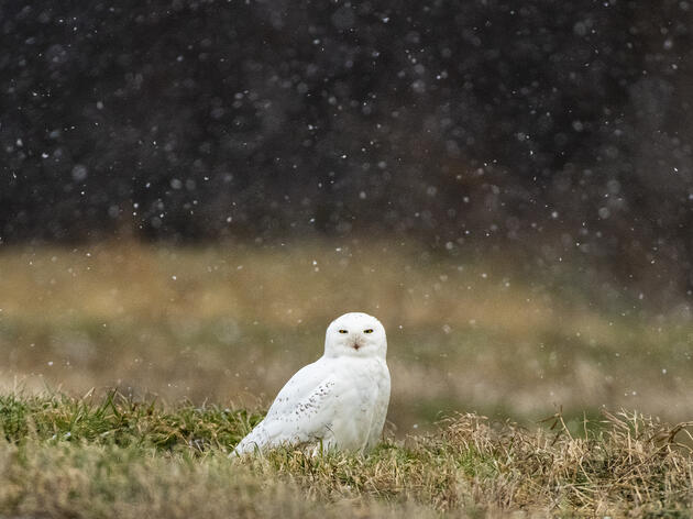 "Best Practices for ""Stress Free"" Snowy Owl Viewing"