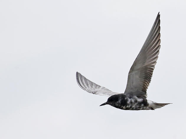Black Tern Conservation