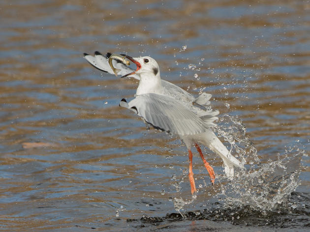 Audubon Great Lakes Praises Introduction of Bipartisan Fisheries Bill to Help Great Lakes Birds