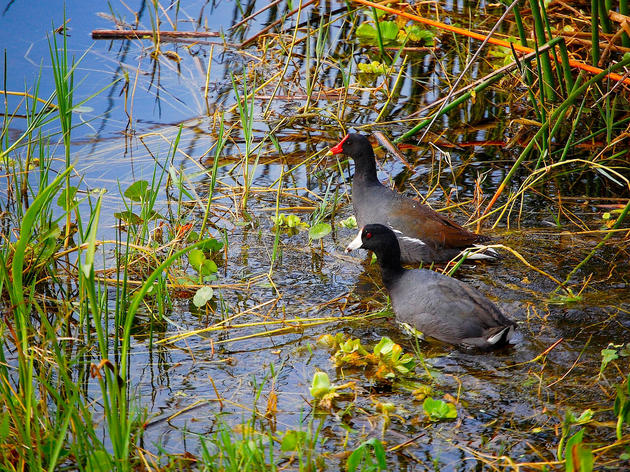 Marsh Birds Provide the Blueprint for Wetland Restoration