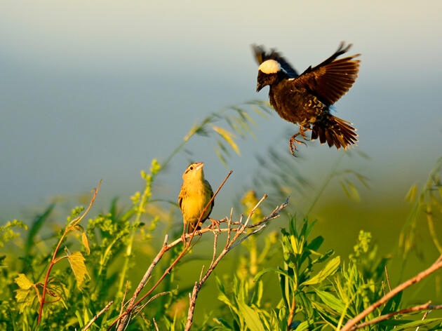 Bell Bowl Prarie Provides Habitat for Rare and Threatned Species of Wildlife and Nature for Birders Across Illinois