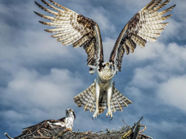 Adopt-A-Nest: Osprey monitoring program
