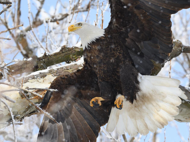 Brilliant Bald Eagles Soar all Winter Long in the Great Lakes Region