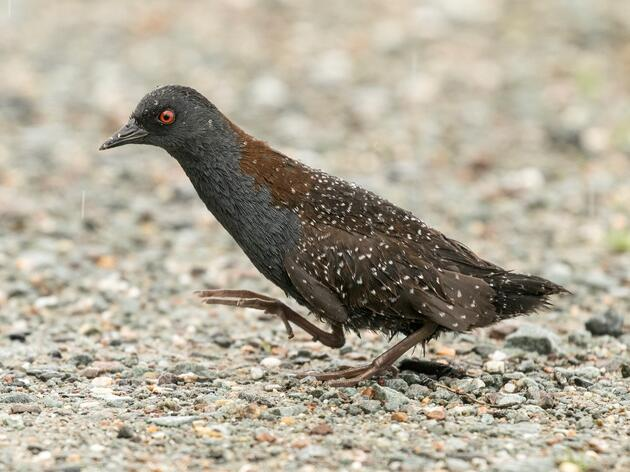 Audubon Great Lakes Statement on Eastern Black Rail Listing Under the Endangered Species Act