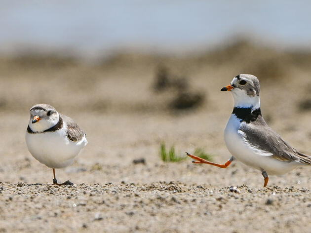 Meet Nish and Nellie, Ohio's First Nesting Piping Plovers In 83 Years