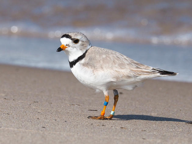 Meet Old Man Plover, the Pride of the Great Lakes