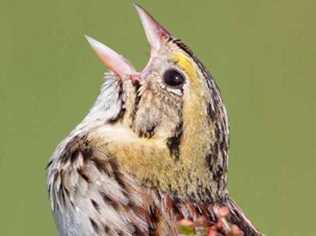 Chicagoland Nurtures Henslow's Sparrow Rebound New Audubon Study Reveals