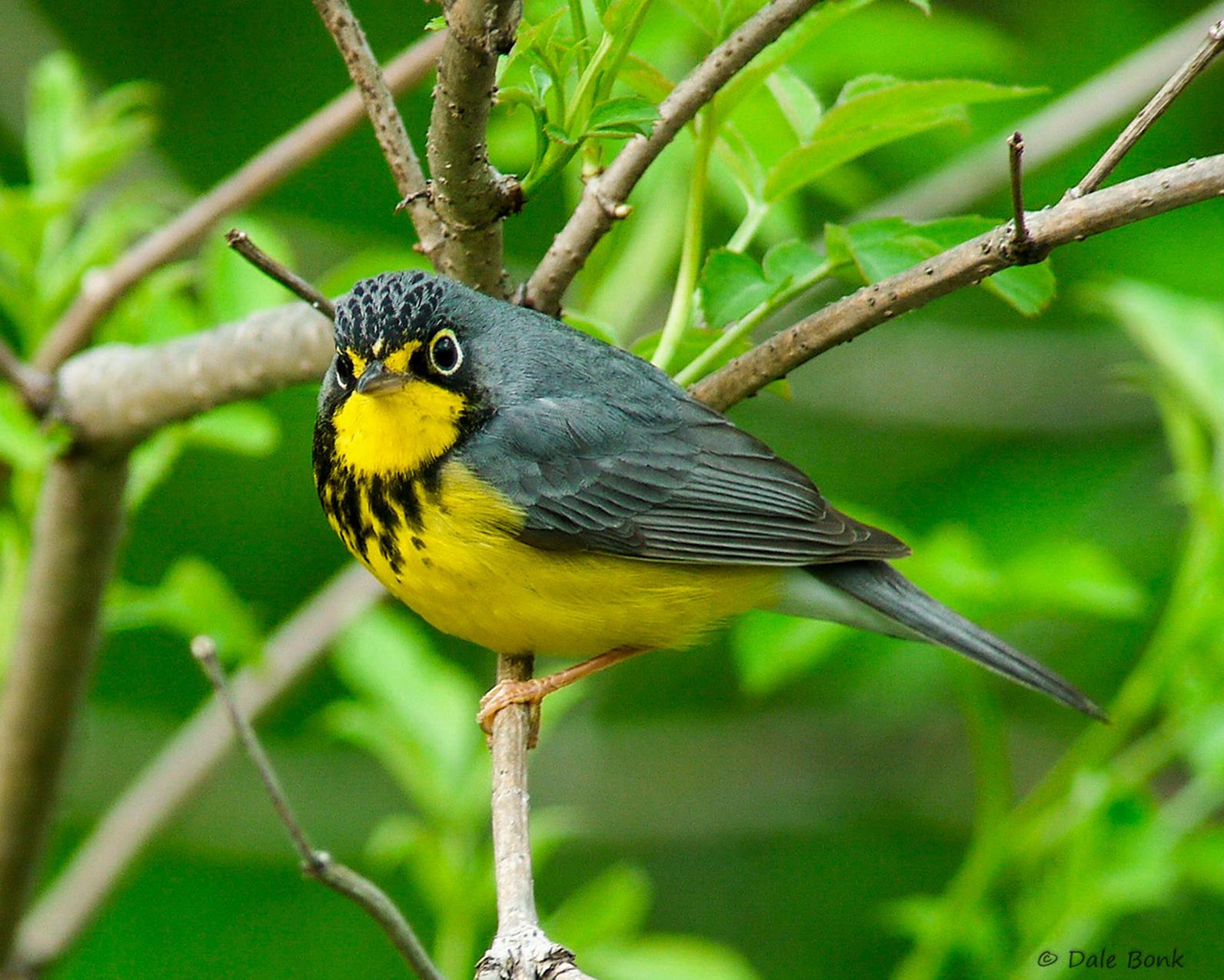 Michigan, Migration, Canada Warbler, Birding