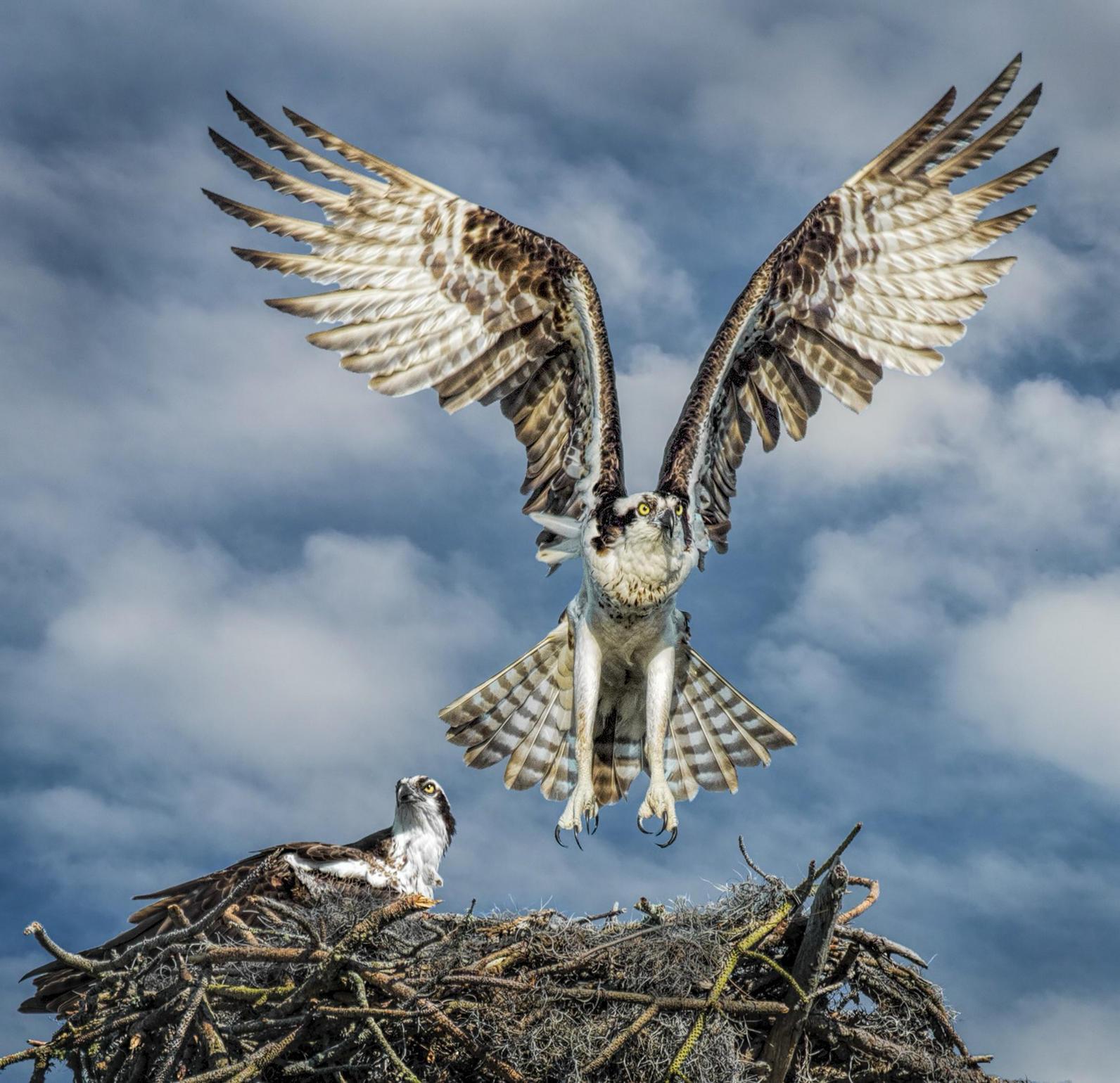 Michigan, Osprey, Community Science, Volunteer