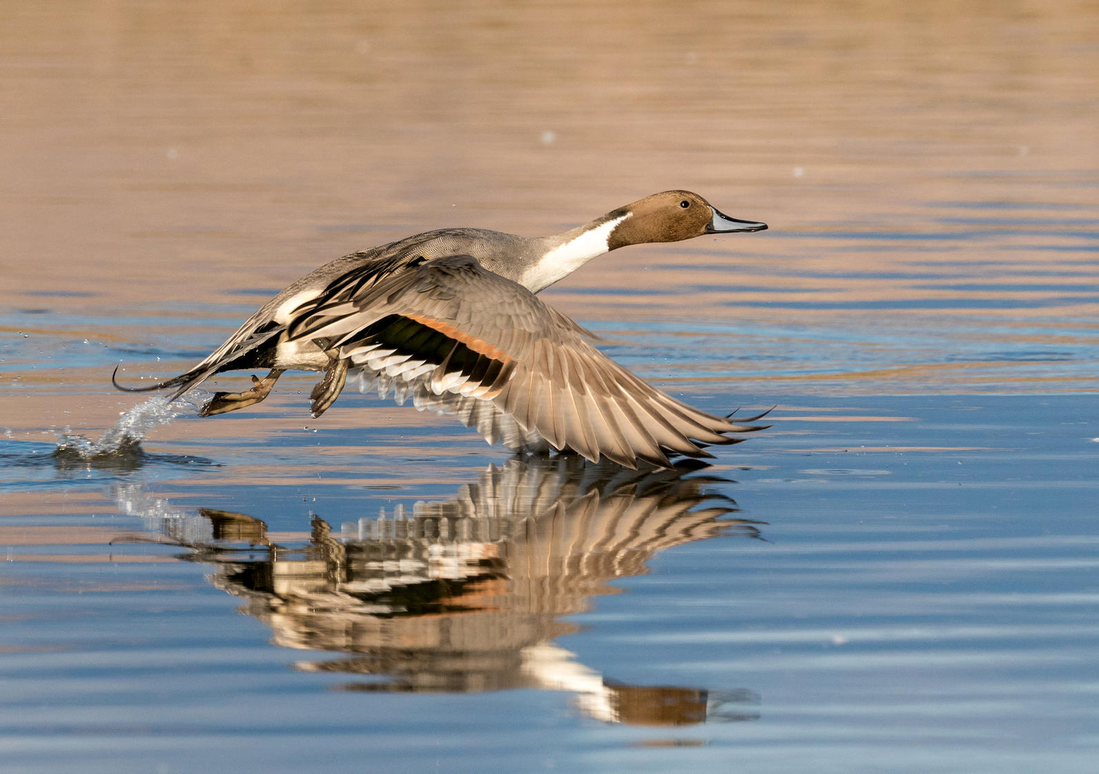 Michigan, Northern Pintail, Migration, Wetlands, Conservation