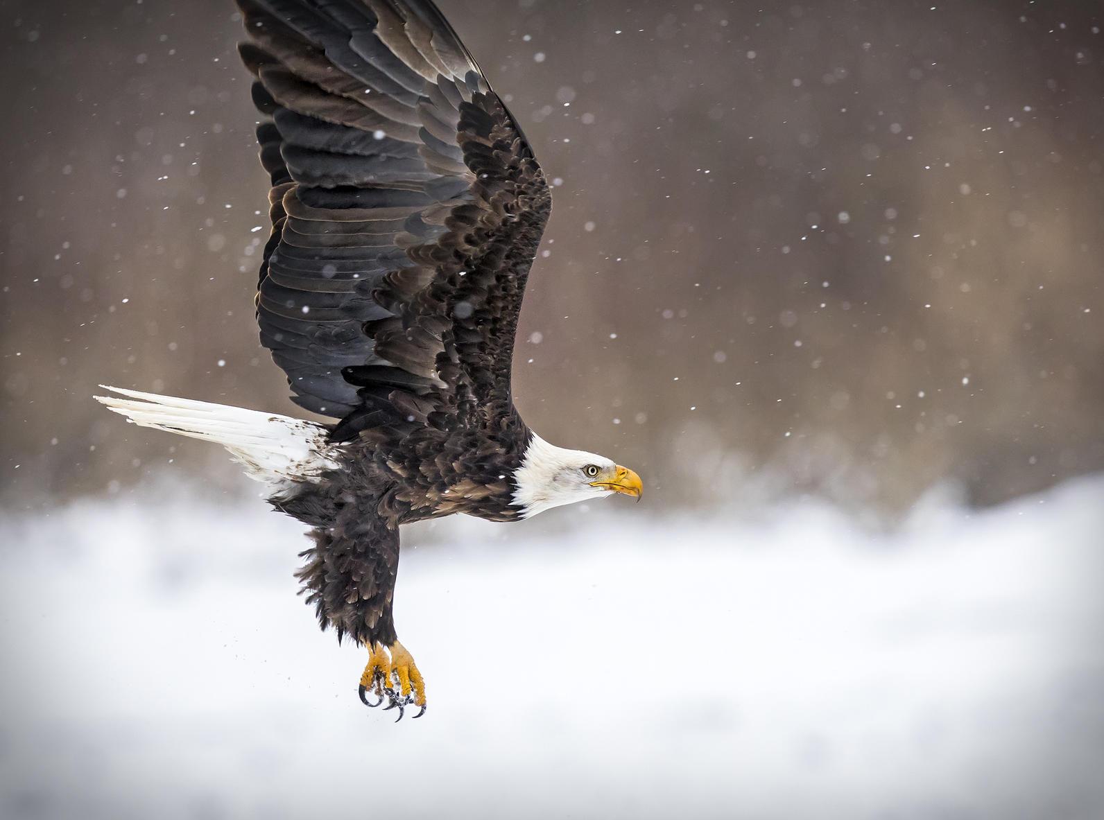 Bald Eagle, Michigan, Christmas Bird Count