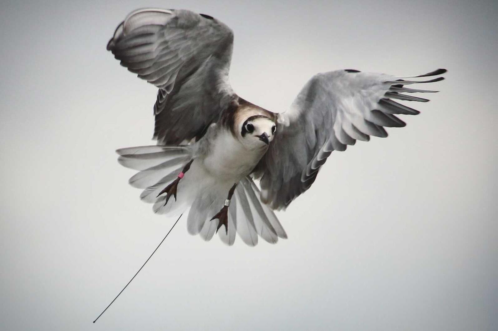 Black Tern with a NanoTag