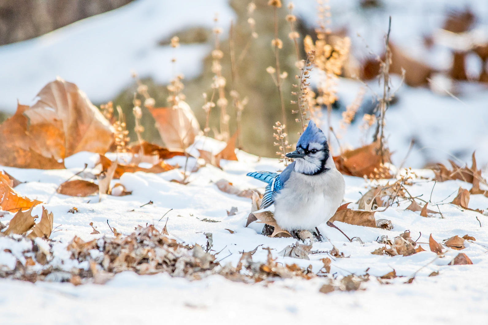 Michigan, Backyard Bird Count, Blue Jay