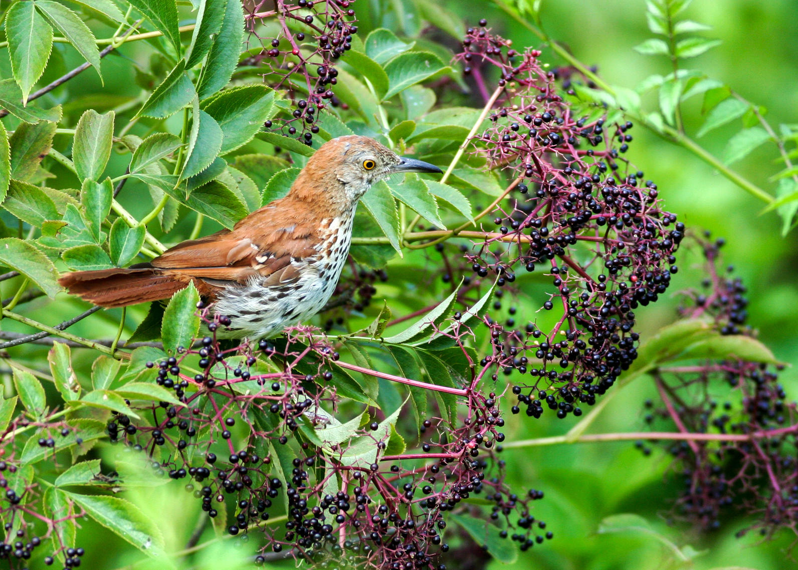 Michigan, Plants for Birds, Brown Thrasher, American Black Elderberry