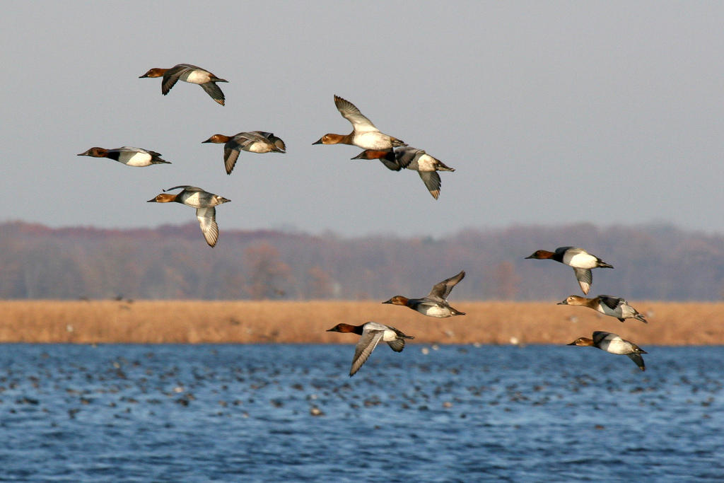Michigan, Climate Watch, Community Science, Bird Count, Volunteer, Waterfowl, Ducks, Cavasback