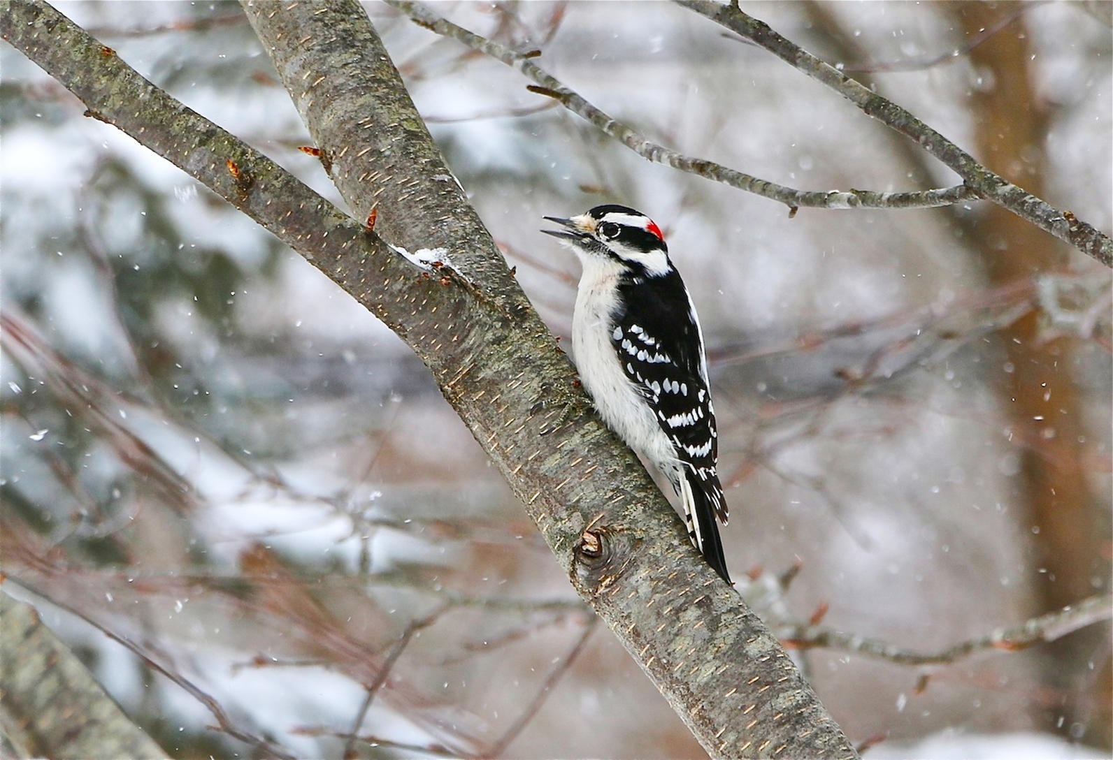 Michigan, Backyard Bird Count, Downy Woodpecker