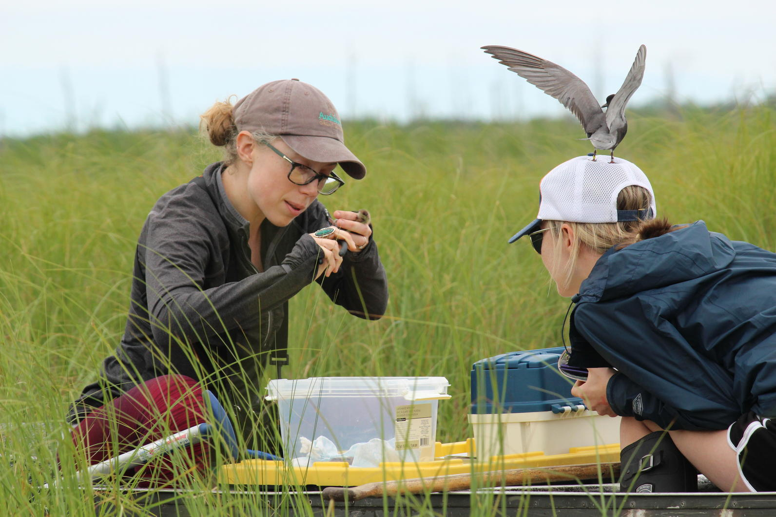 Michigan, Black Tern, Wetlands, Community Science, Volunteer