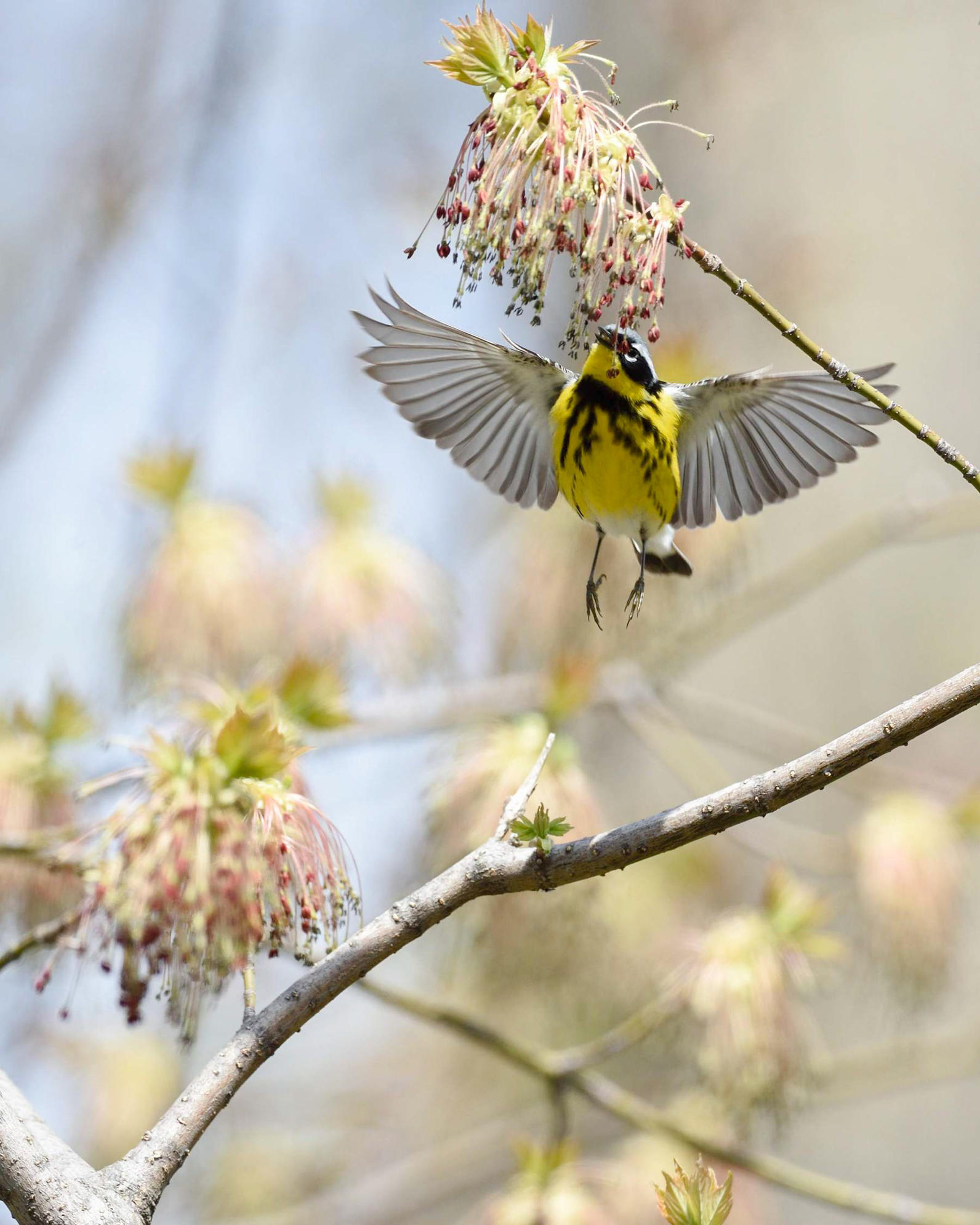 Michigan, Magnolia Warbler, Plants for Birds, Box Elder Tree