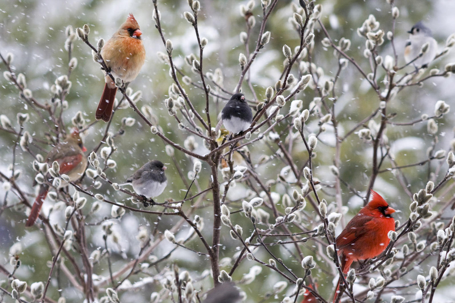 Michigan, Climate Watch, Community Science, Volunteer, Winter Birds