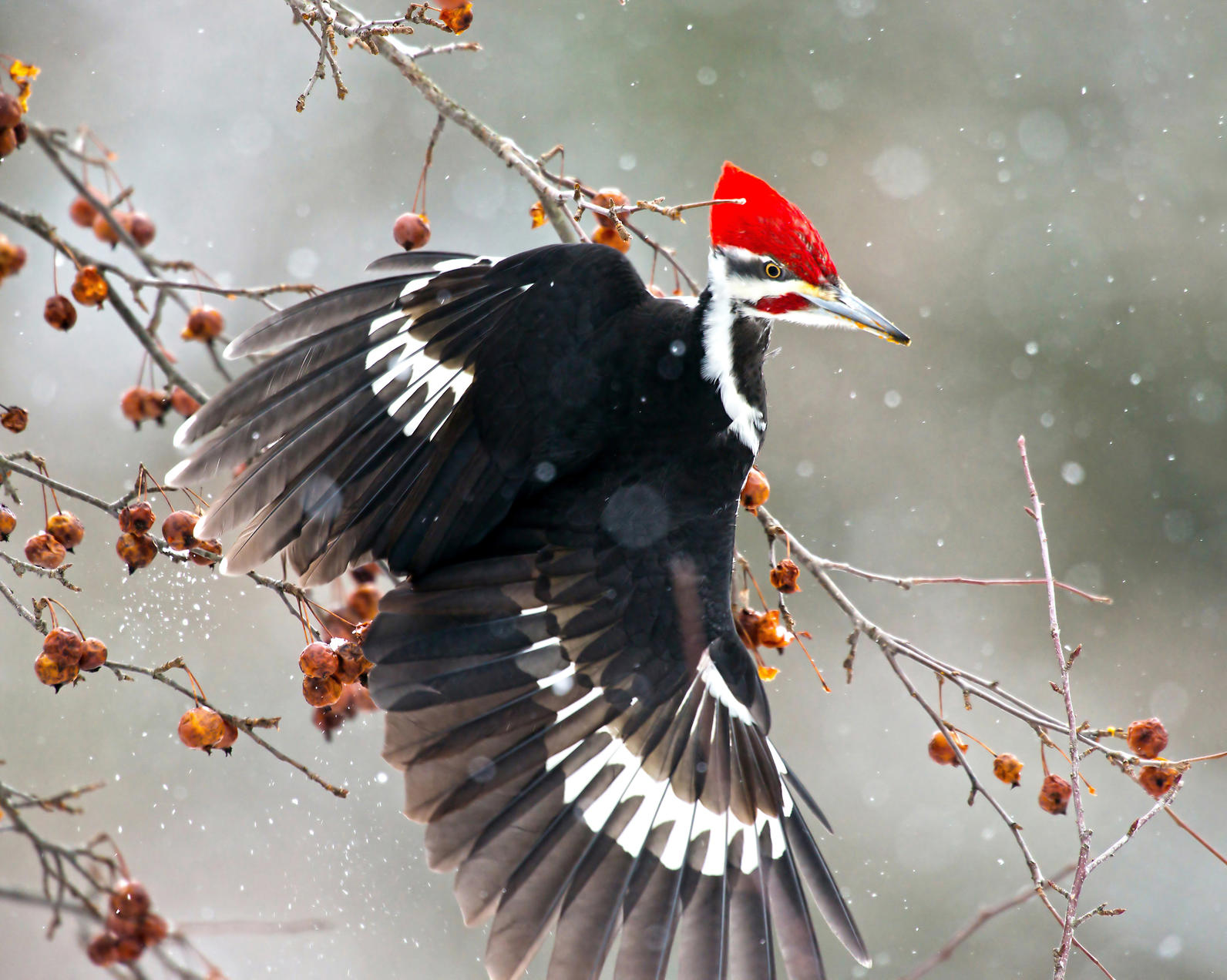 Michigan, Backyard Bird Count, Pileated Woodpecker