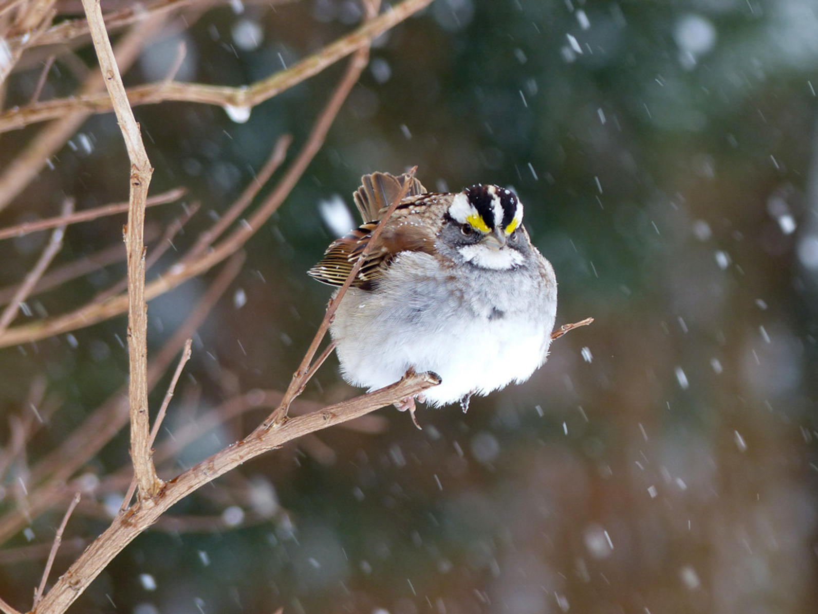 Michigan, Backyard Bird Count, White-throated Sparrow