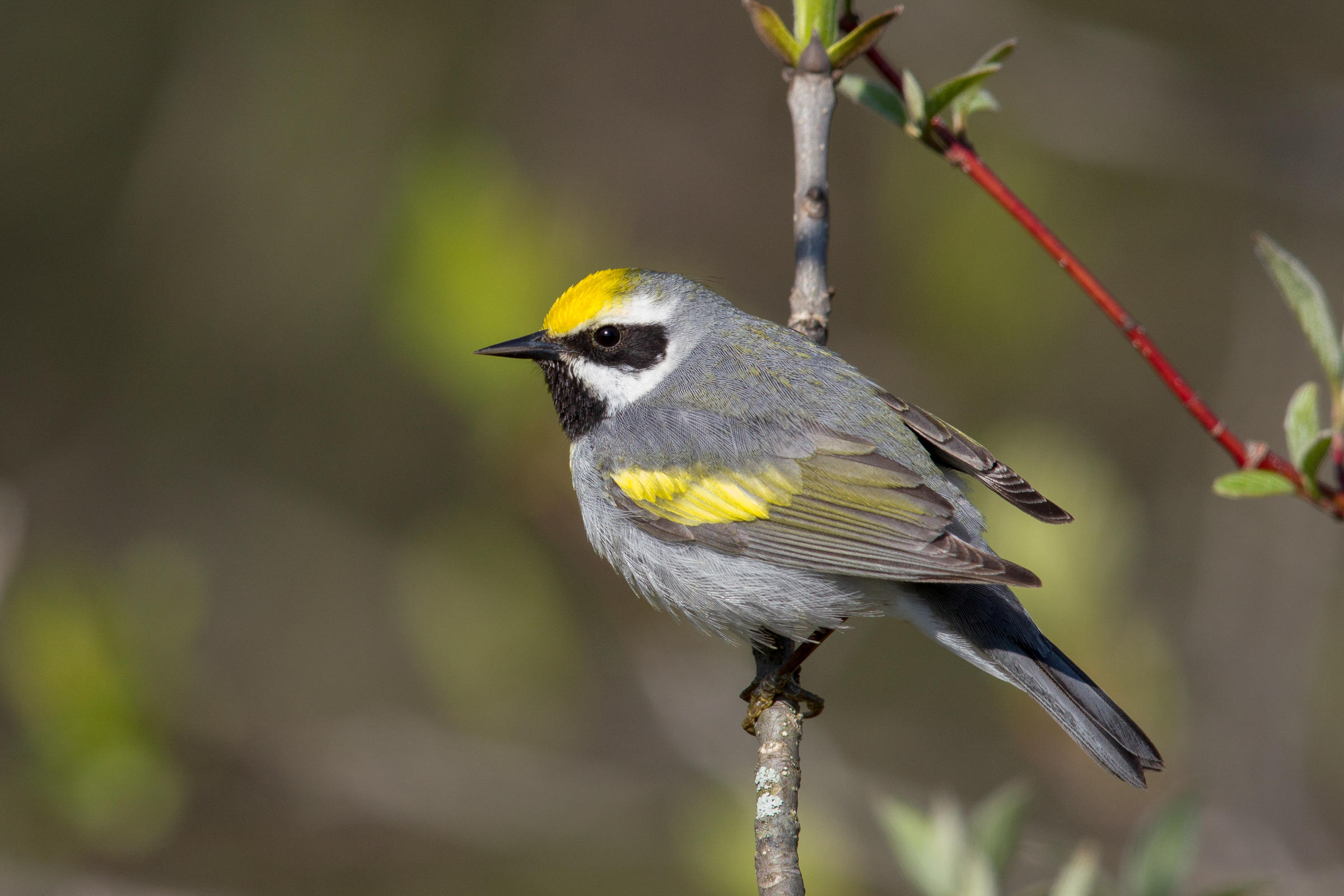 Golden-winged Warblers can be found in Green Bay, Wisconsin