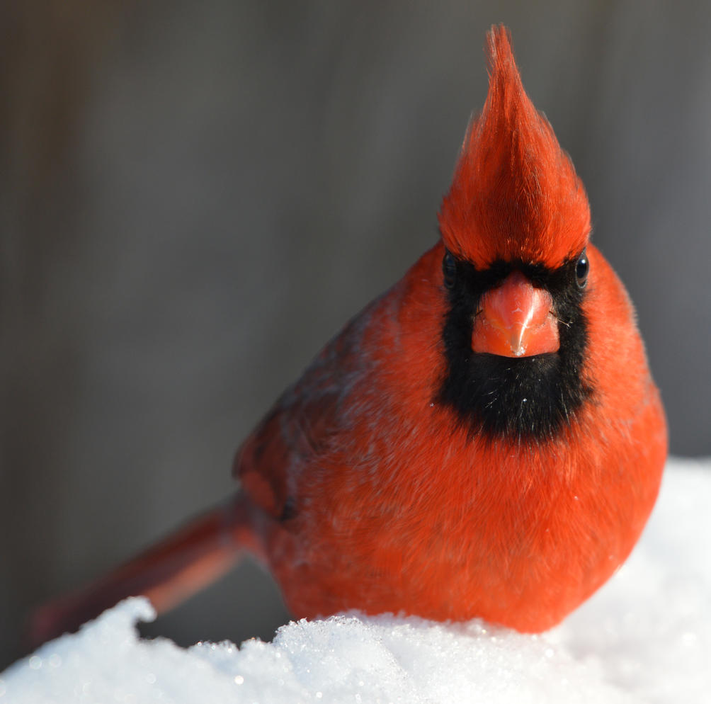 Michigan, Backyard Birds, Northern Cardinal