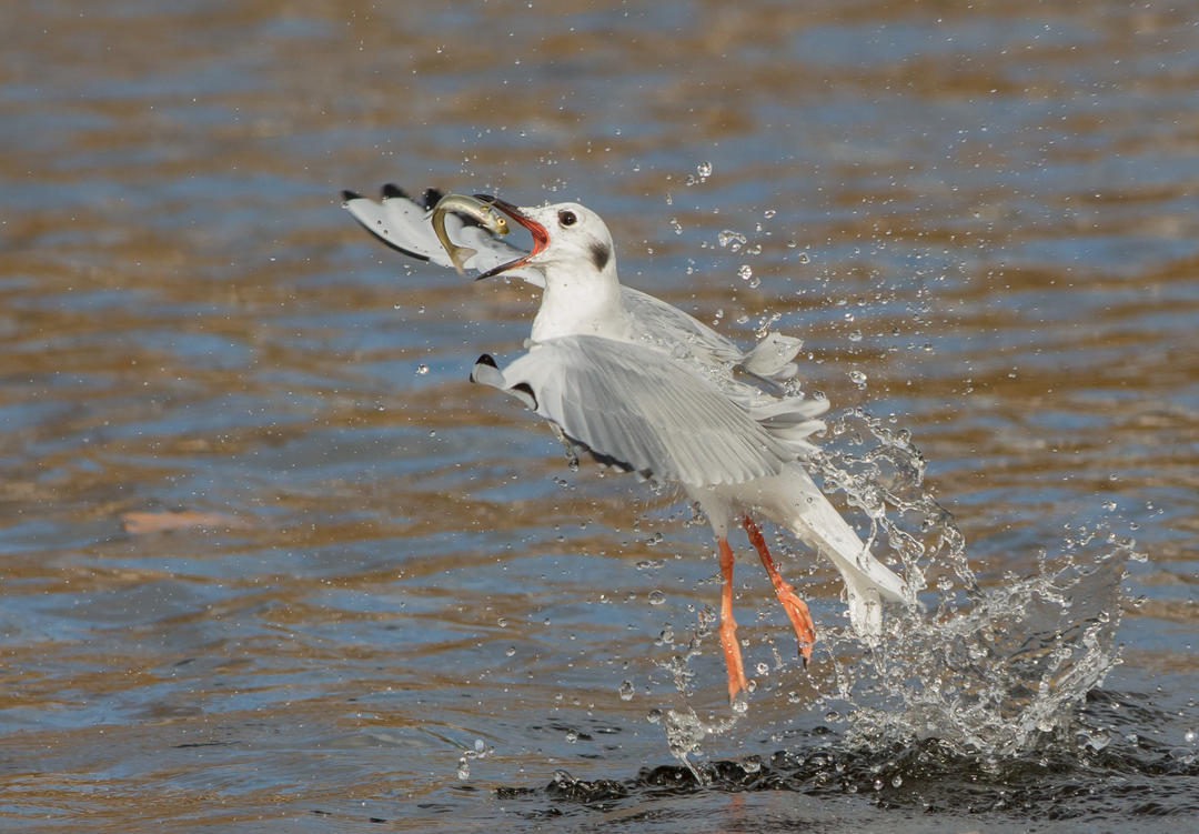 Bonaparte's Gull, Great Lakes migratory bird that depends on ocean fish