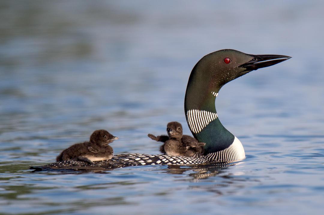 Common Loon, Michigan, wetlands
