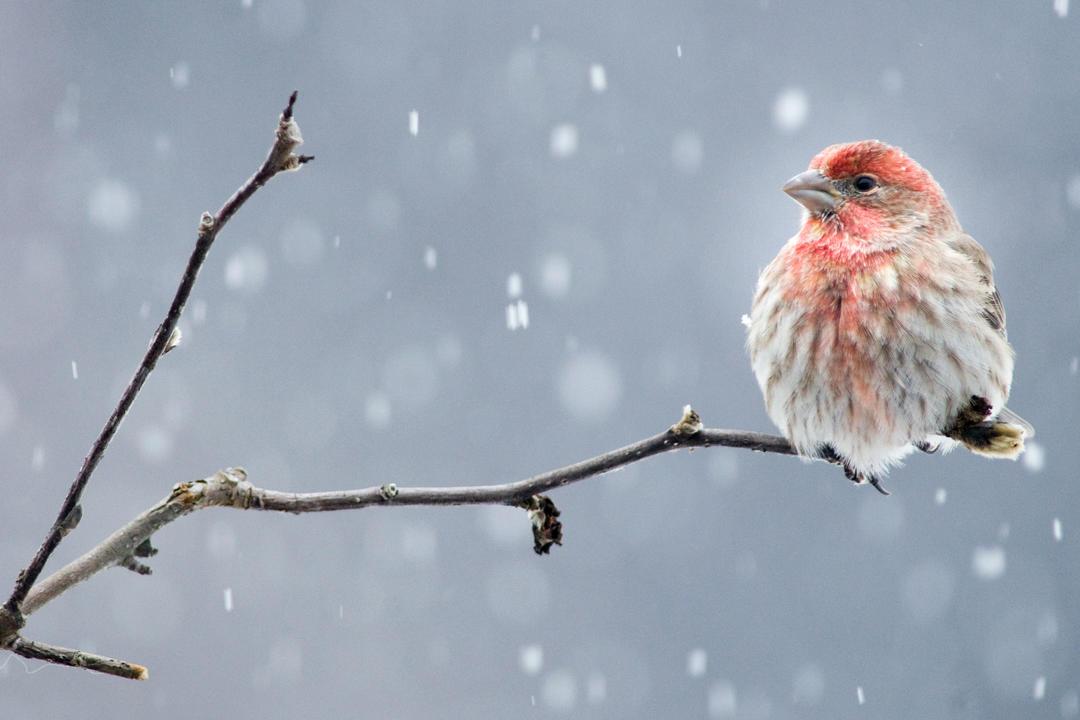 Michigan, Climate Watch, Community Science, Volunteer, Bird Count