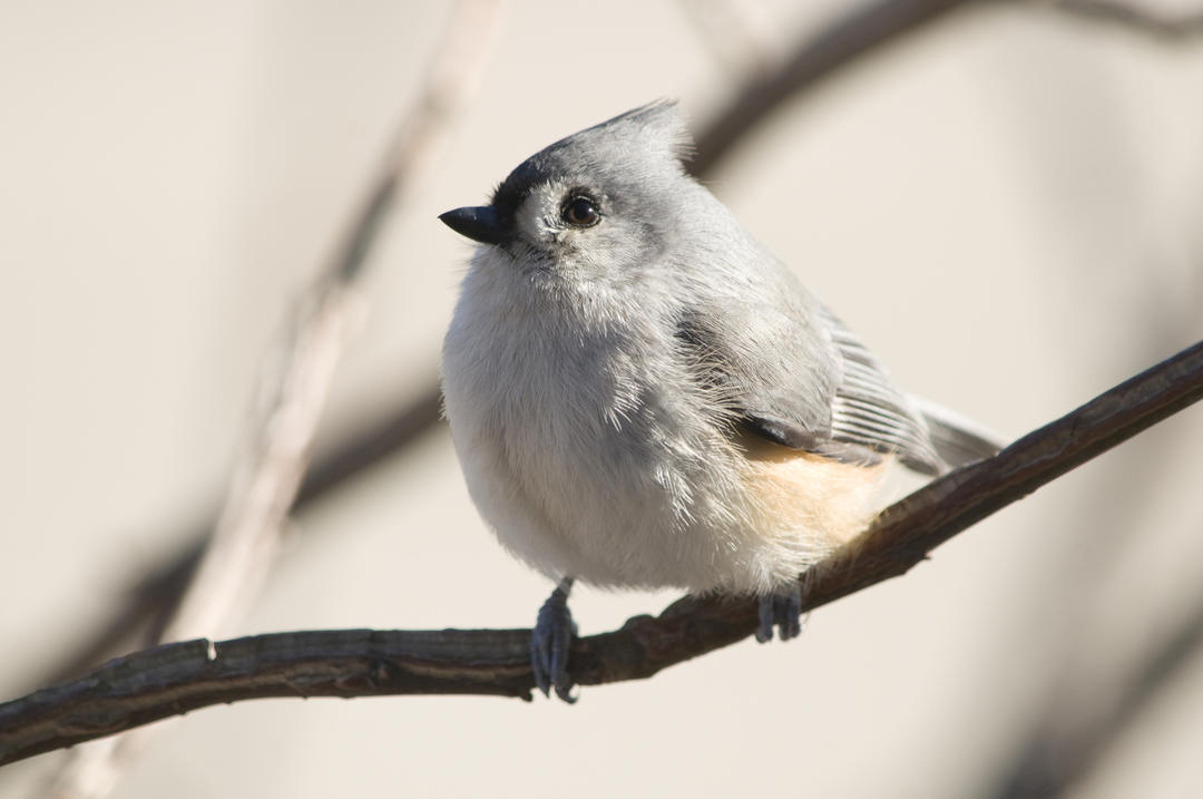 Michigan, Backyard Bird Count, Tufted Titmouse
